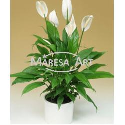 Vase de Spathiphyllum