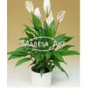"""05 Spathiphyllums de """"Vase"""""""