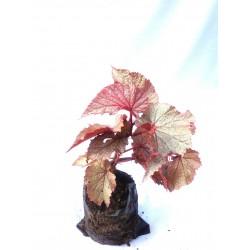 Américan Begonia