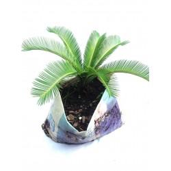 Palmier rameaux